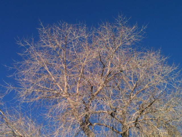 Cottonwoods and sky: March 2014