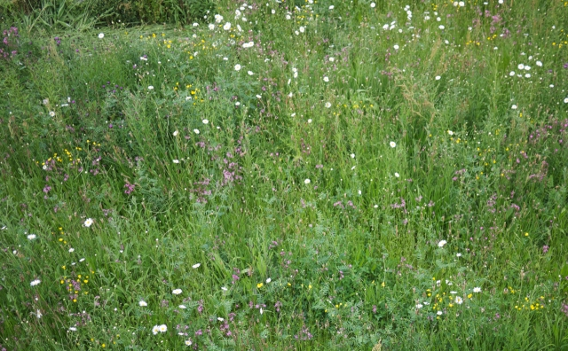 Wildflower Meadow Uni Essex