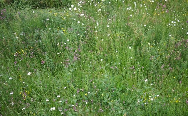 Wildflower Meadow Uni Essex