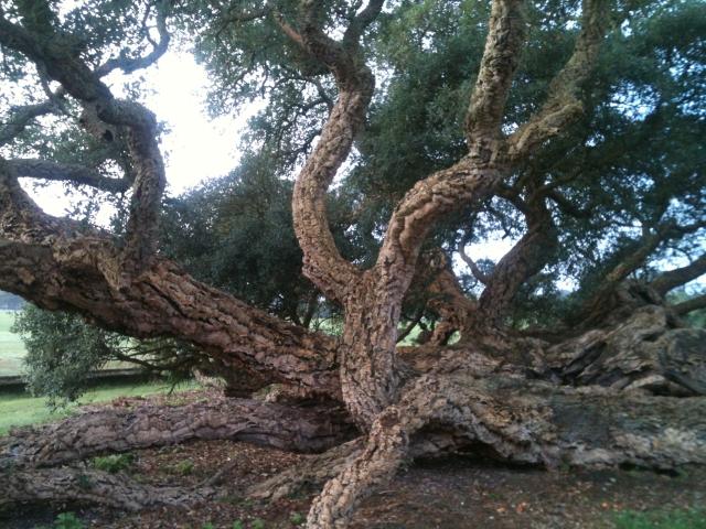 Rebow oak