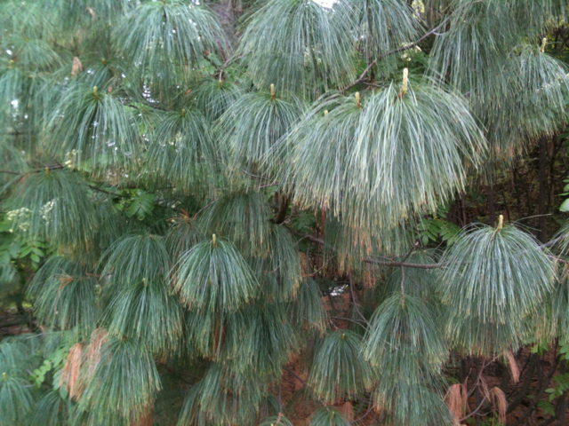 White Pine in rain